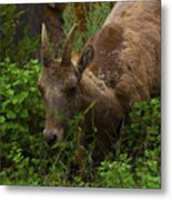 Bighorn Sheep Metal Print by Barbara Schultheis