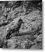Bighorn Sheep Ewe On Wolf Creek Pass Metal Print