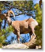 Bighorn Sheep In The San Isabel National Forest Metal Print