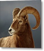 Bighorn Sheep In Winter Metal Print