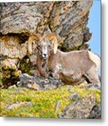 Bighorn Sheep Metal Print