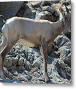 Bighorn Sheep Lamb Metal Print