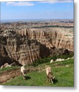 Bighorn Sheeps At Sage Creek Metal Print