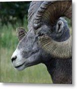 Bighorned Ram Metal Print