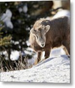 Bighorned Yearling - King Of The Hill Metal Print