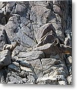 Bighorns Romantic Stare Metal Print