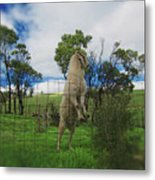 Billy Goat At The Lookout Post Metal Print