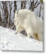 Billy Goat On The Move Metal Print