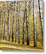 Birch Alley In Autumn Metal Print