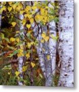 Birch In Autumn Metal Print
