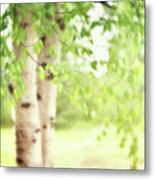 Birch In Spring Metal Print