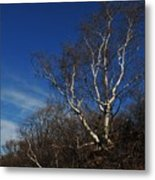 Birch On A Cliff  Metal Print