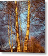 Birch Tree In Golden Hour Metal Print