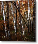 Birch Trees In The Fall Metal Print