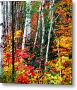 Birch Trees With Colorful Fall Foliage Metal Print