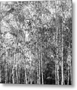Birch Trees1 Metal Print