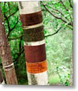 Birch Wood Tree  Metal Print