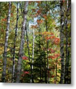 Birches In Fall Forest Metal Print