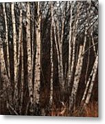 Birches In The Rain Metal Print
