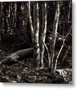 Birches In The Wood Metal Print