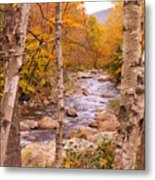 Birches On The Kancamagus Highway Metal Print
