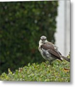Bird On The Hedges Metal Print
