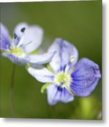 Birds Eye Speedwell Metal Print