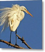 Birds - Great Egret Metal Print