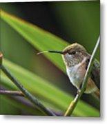 Birds Of Bc - No. 31 - Rufous Hummingbird - Selasphorus Rufus Metal Print