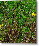 Birdsfoot Trefoil Surrounded By Tiny Bright Eyes In Campground In Saginaw-minnesota Metal Print