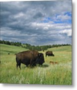 Bison And Their Calves Graze In Custer Metal Print