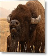 Bison Bellowing At The Sky Metal Print