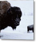 Bison Bison Bison In The Snow Metal Print