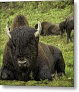 Bison Bliss Metal Print