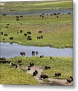 Bison Herd And Yellowstone River Metal Print