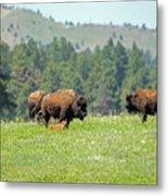 Bison Herd Metal Print
