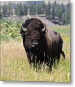 Bison In Grass Metal Print