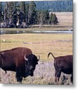 Bison In Yellowstone Metal Print