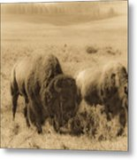 Bison Pair Metal Print