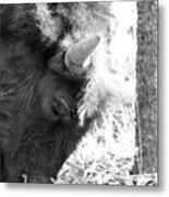 Bison Portrait Monochrome Metal Print