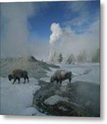 Bison Walking In Front Of Lion Geyser Metal Print