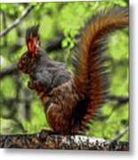 Black Abert's Squirrel - Half And Half Metal Print