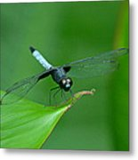 Black And Blue Dragonfly Metal Print