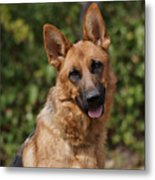Black And Red German Shepherd Dog Metal Print