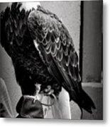 Black And White Bald Eagle Metal Print