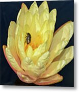 Black And White Beetle On Yellow Pond Lily Metal Print