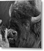 Black And White Bison In Heat Metal Print