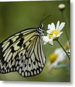 Black And White Butterfly On A Daisy Metal Print