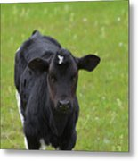 Black And White Calf Standing In A Field Metal Print
