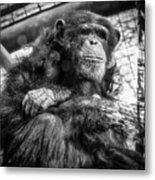 Black And White Chimp Metal Print